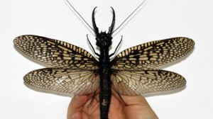 megaloptera-largest-aquatic-insect